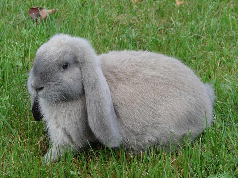 Французский кролик баран