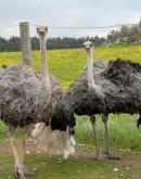 'Бизнес на разведении страусов в домашних условиях — бизнес-план с расчетами для начинающих